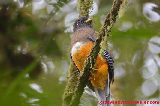 Trogon bird Caracoral in El Valle de Anton(36)