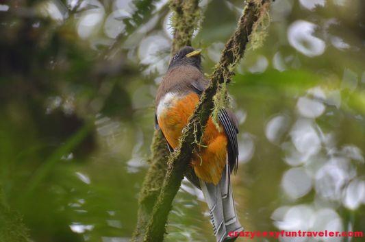 Trogon bird Caracoral in El Valle de Anton(37)
