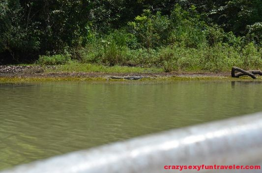 a crocodile at Gatun lake (2)