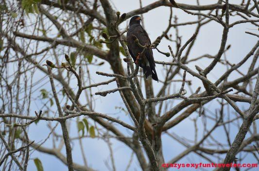 a hawk Monkey island (2)