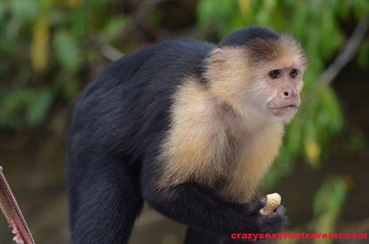 capuchin monkeys Monkey Island (1)