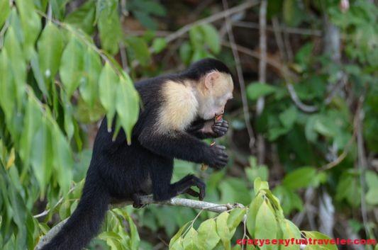 capuchin monkeys Monkey Island (2)