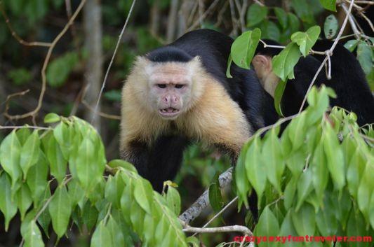 capuchin monkeys Monkey Island (3)
