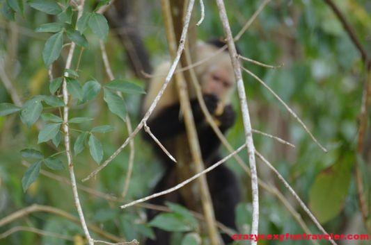 capuchin monkeys Monkey Island (4)