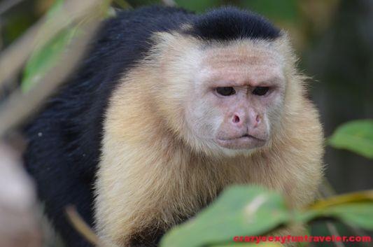 capuchin monkeys Monkey Island (5)