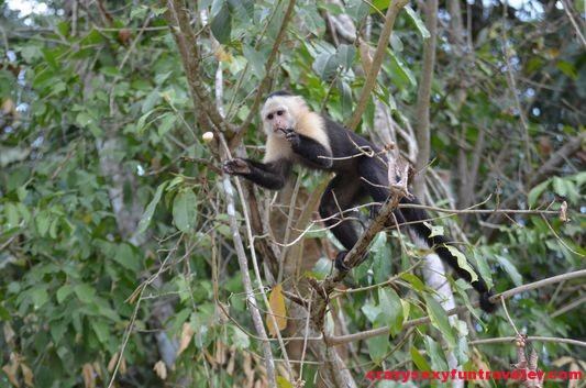 capuchin monkeys Monkey Island (7)