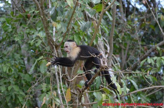 capuchin monkeys Monkey Island (8)