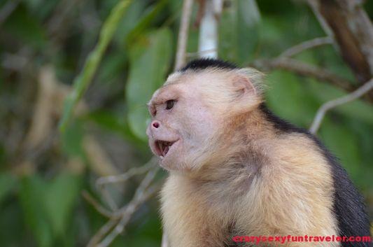 capuchin monkeys Monkey Island (9)