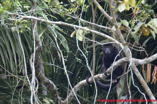 howler monkeys Monkey island (1)