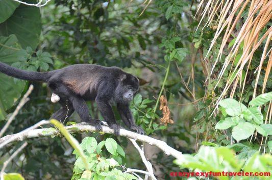 howler monkeys Monkey island (2)