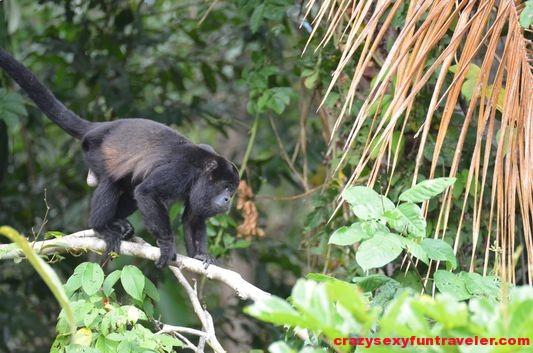 howler monkeys Monkey island (3)
