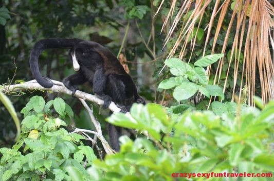 howler monkeys Monkey island (4)
