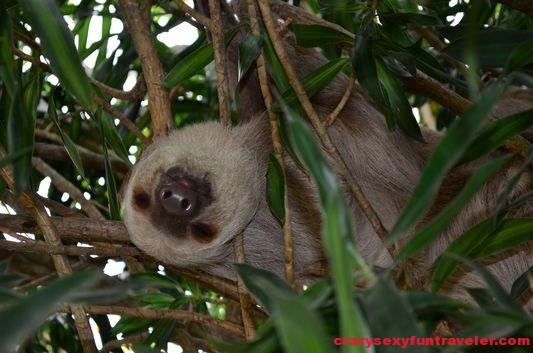 sloth at Punta Culebra (1)