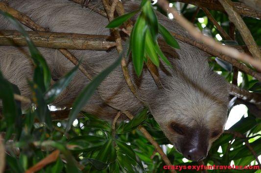 sloth at Punta Culebra (2)
