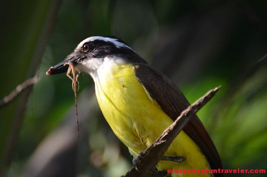 Great Kiskadee wildlife Osa Peninsula (45)