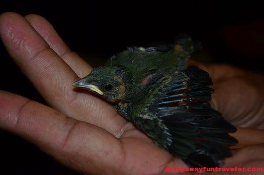 a baby bird fell off nest at Blue Osa