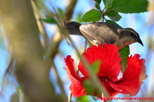a bird on a bouganvillea plant wildlife Osa Peninsula