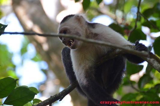a capuchin monkey Osa Peninsula