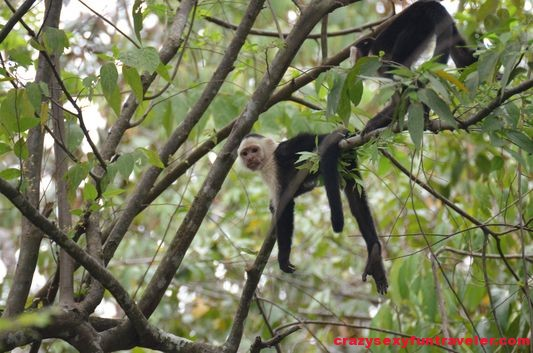 a capuchin monkey hanging out on a tree