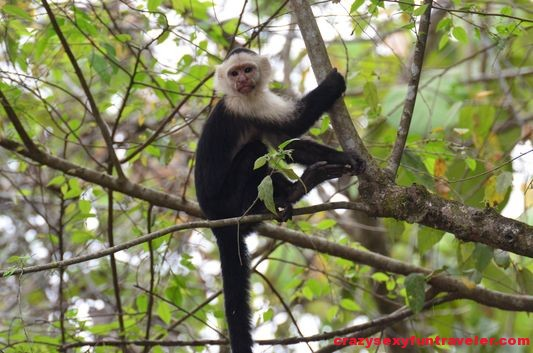 a capuchin monkey outside of the Blue Osa garden