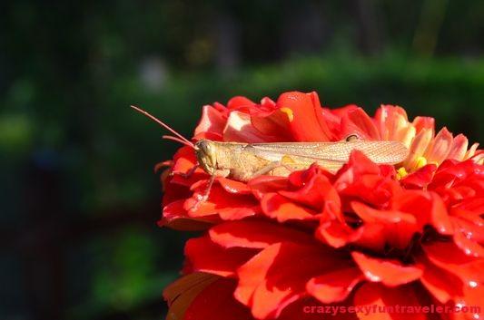 a grasshopper in the Blue Osa garden