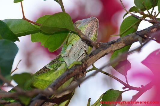 a green iguana