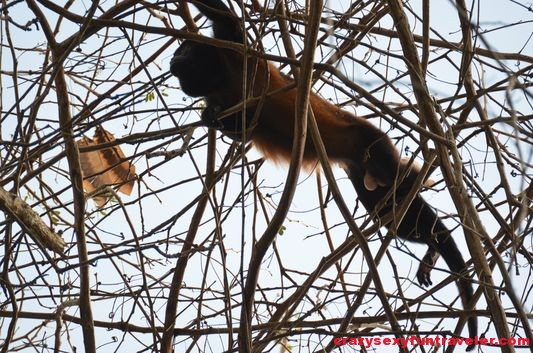 a male howler monkey Osa Peninsula