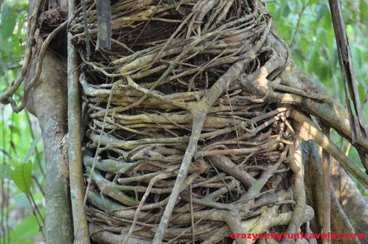 a strangle tree Osa Peninsula
