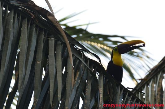 black-mandibled toucans Osa Peninsula