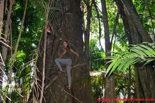climbing a matapalo tree