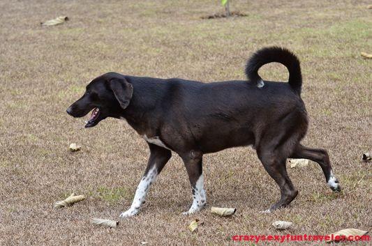 dog Rama Blue Osa