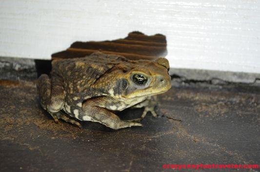 frog wildlife Osa Peninsula (61)