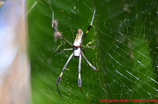 golden spider golden silk orb-weaver wildlife Osa Peninsula (20)