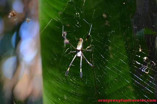 golden spider golden silk orb-weaver wildlife Osa Peninsula (21)