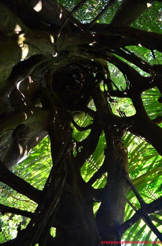 inside the strangle tree wildlife Osa Peninsula