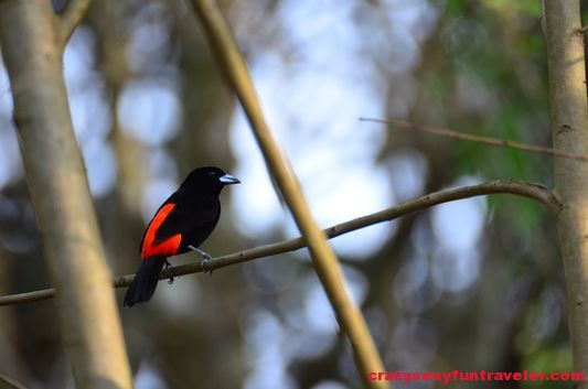 my favorite Tanager bird Osa Peninsula