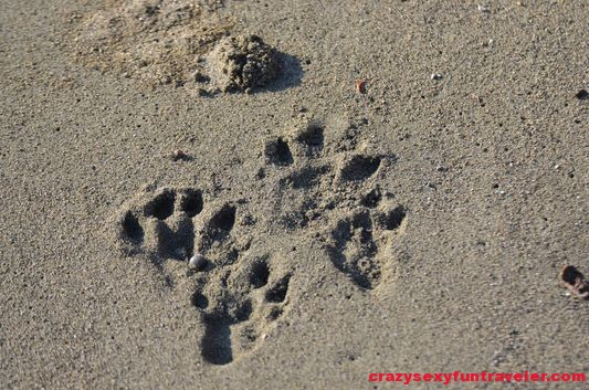 pizote racoon tracks wildlife Osa Peninsula (8)