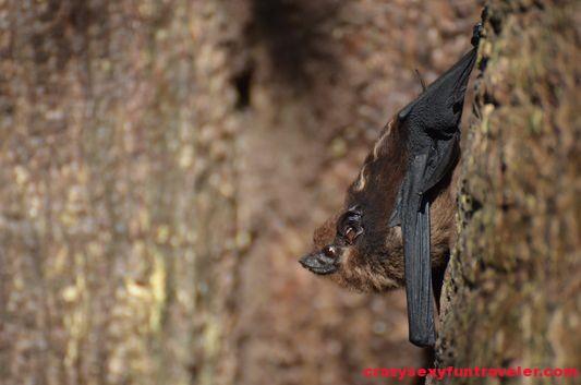 tent bats Osa Peninsula