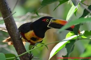 toucans Osa Peninsula (1)
