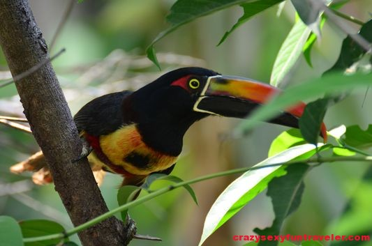 toucans Osa Peninsula (1)