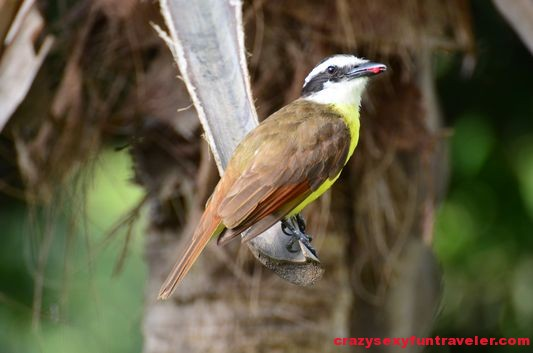 Great Kiskadee bird in the jungle in Costa Rica