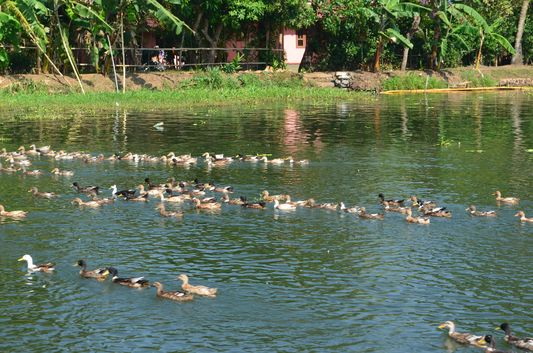 Kerala Backwaters houseboat from Kollam to Alleppey Lake & Lagoons (27)