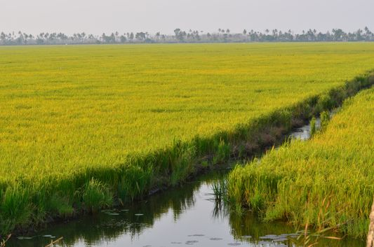 Kerala Backwaters paddy fields  (1)