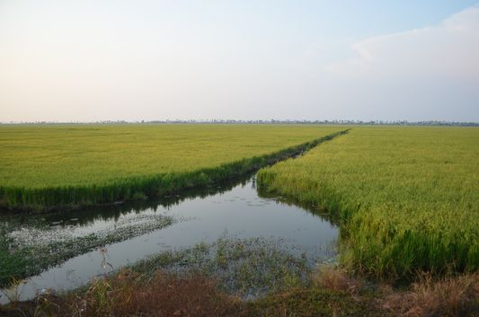Kerala Backwaters paddy fields  (36)
