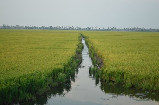 Kerala Backwaters paddy fields  (38)
