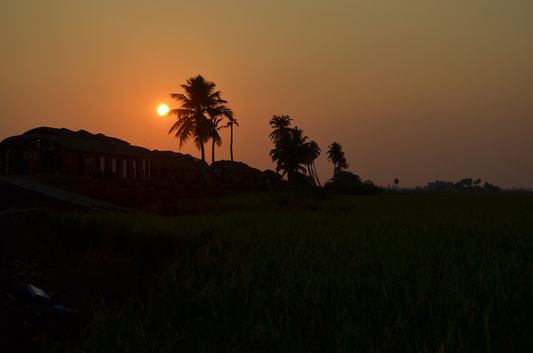 Kerala Backwaters paddy fields  (41)