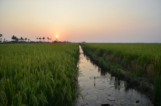 Kerala Backwaters paddy fields  (47)