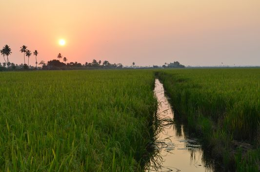 Kerala Backwaters paddy fields  (48)