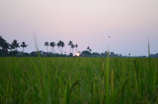 Kerala Backwaters paddy fields  (58)