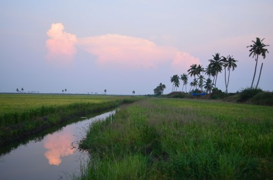 Kerala Backwaters paddy fields  (60)